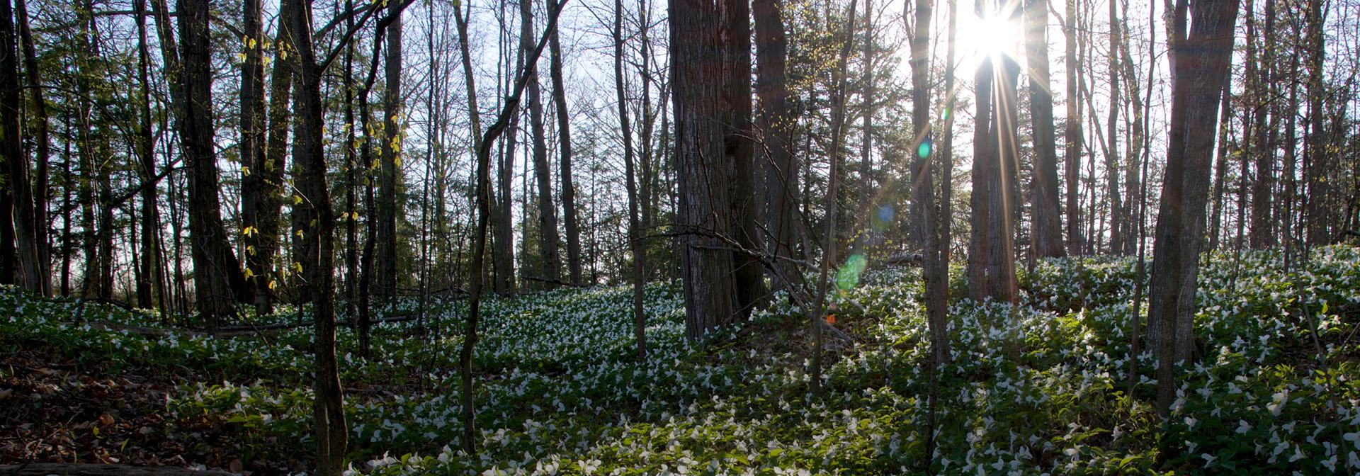 Ontario woodlot